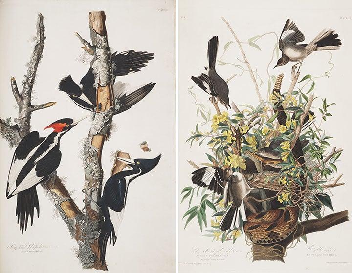 Audubon Birds Of America Woodpecker