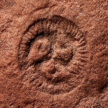 Fossil photo from the Ediacara Biota. (Photo by James Gehling)