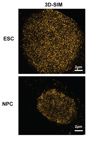 Embryonic stem cells, which give rise to all cells, have greater reserves of molecular complexes called dormant origins than specialized stem cells such as neural progenitor cells shown here.  The complexes help dividing cells respond to stress and accurately copy DNA.