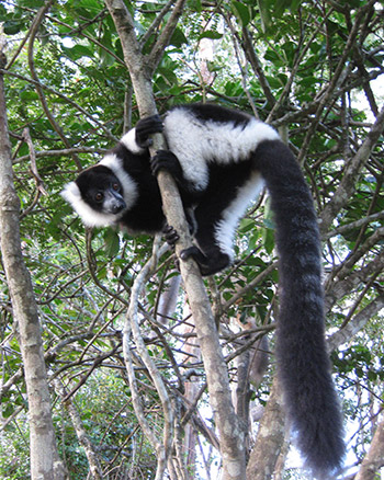 The black-and-white ruffed lemur is the last species large enough to disperse seeds of the Canarium plant in Madagascar.
