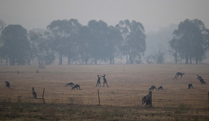Kangaroos graze in a field as smoke shrouds the Australian capital of Canberra, Australia, Wednesday, Jan. 1, 2020.