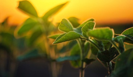 Soybean plants at sunset
