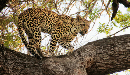 A leopard prowls along a branch.