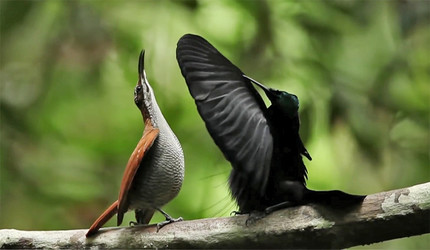 A side view of the mating display of a male bird of paradise.