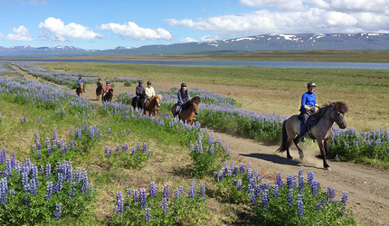 Riding through an Icelandic vista, with violet lupine in bloom