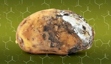 A rotting potato.