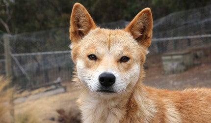 Photo of a dingo.