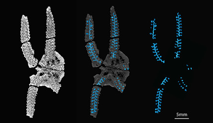 A 3D scan view of Protasterina flexuosa fossil sample.