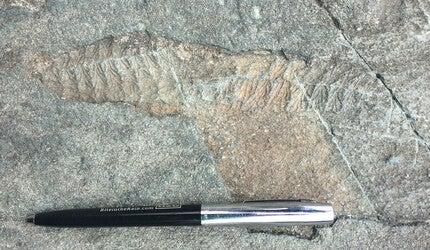Fossils of the Ediacara Biota