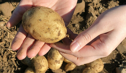 A potato in the palm of a person's hand.