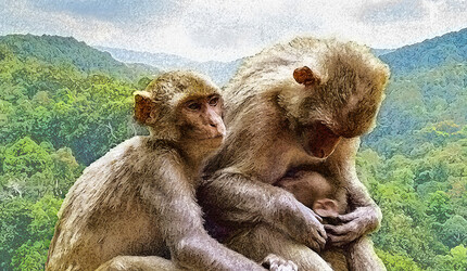 An illustration of rhesus monkeys.
