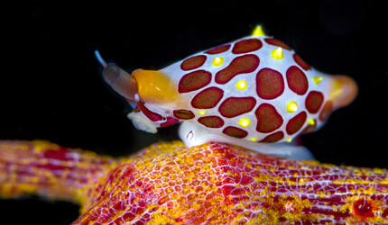 Colorful sea snail.