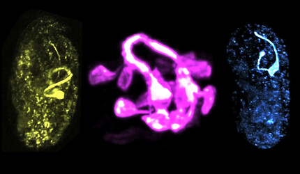 Visualization of a developing worm brain.