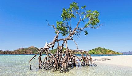A mangrove tree