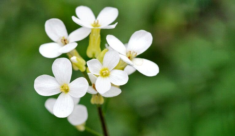 The flower Arabidopsis thaliana.