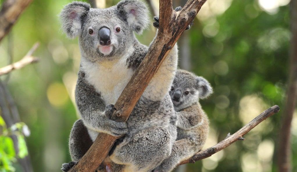 Photo of an Australian Koala Bear with her baby.