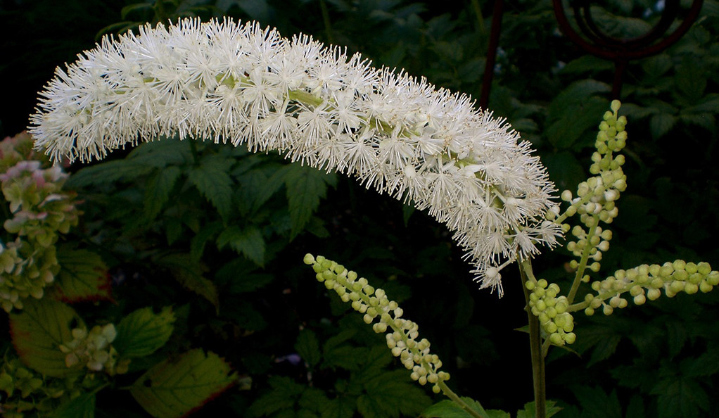 A black cohosh flower