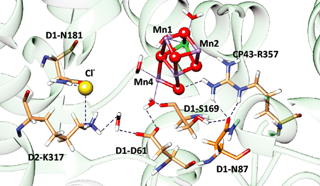 The structure of the O2-evolving complex depicting the hydrogen bonding network in cyanobacteria.