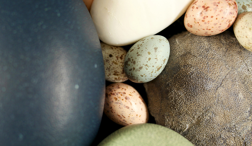 Assortment of paleognath and neognath bird eggs and a fossil theropod egg