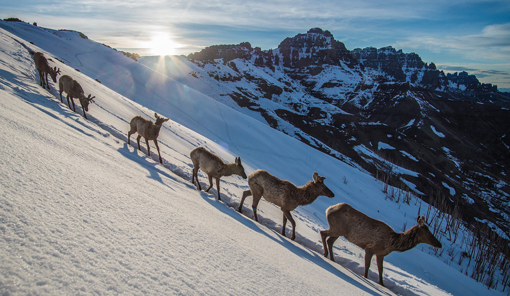 A line of elk make their way down a steep, snowy mountainside