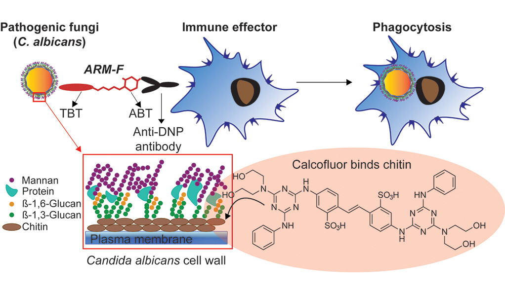a graphic representation of ntifungal antibody-recruiting small molecules  targeting chitin, a fibrous substance