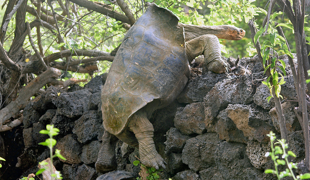 Photo of a tortoise on a Galapagos Island.