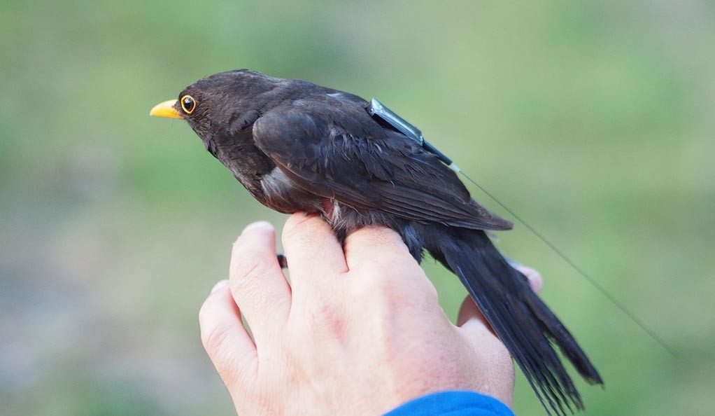 A songbird with a tracking device resting on a man's hand