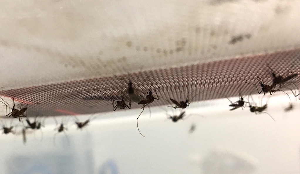 A photo of mosquitoes.