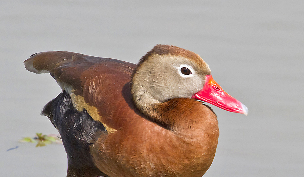 In male ducks, social competition spurs changes in genitalia | YaleNews
