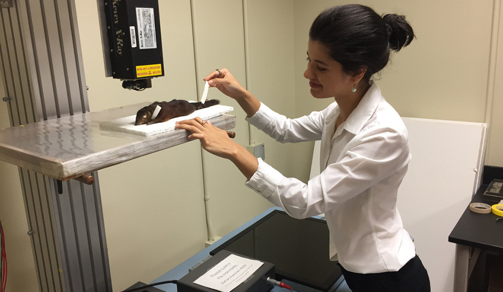Maya Juman x-rays the hands a tree shrew specimen at the National Museum of Natural History.