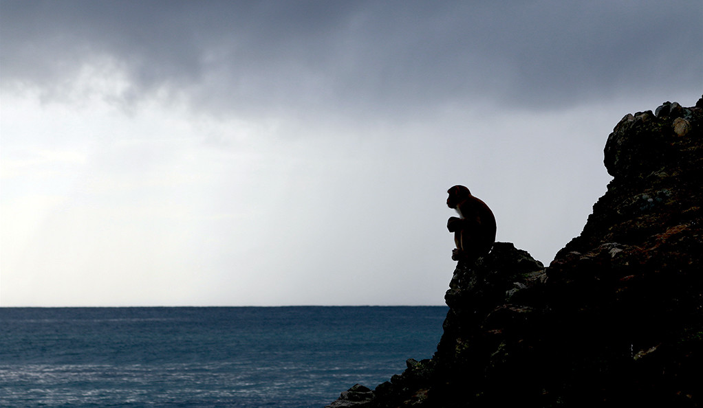 A lone rhesus monkey sits on a rock, looking out over the ocean.