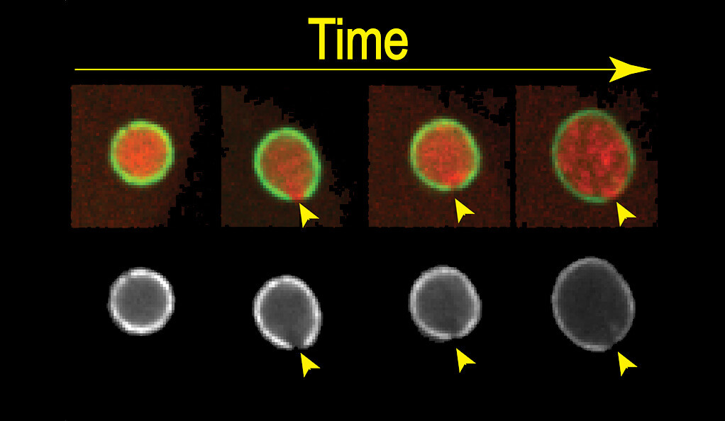 A diagram illustrating how embryonic cells repair damage to nuclear membranes, taken from microscopic photos by Yale researchers