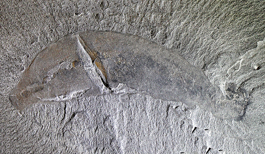 A photo of an Ottoia fossil.