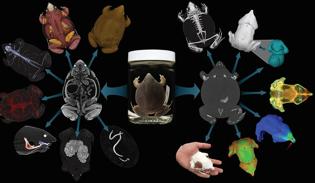 Collage of images of frog bones and muscles