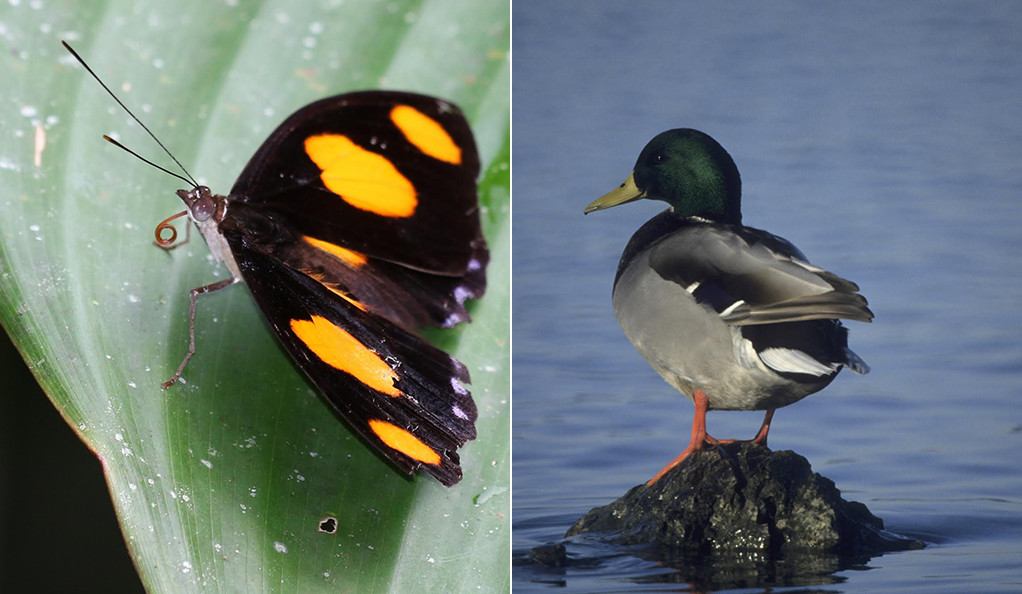 A butterfly and a duck.