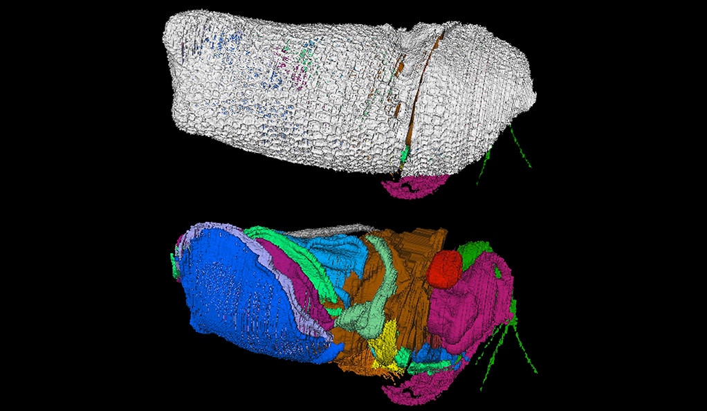 Virtual reconstructions of the new 430 million-year-old crustacean Spiricopia aurita, which is 7.5 mm long.