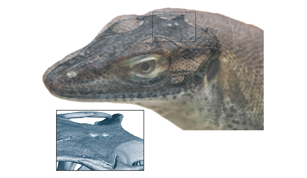 A reconstruction of Saniwa ensidens with a monitor lizard head. The third and fourth eyes are located on the top of the head.