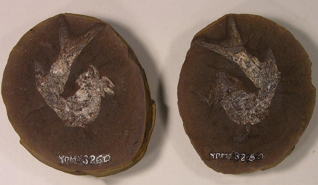 The palaeonisciform fish Elonichthys disjunctus is an example of nekton from the Paleozoic Era.