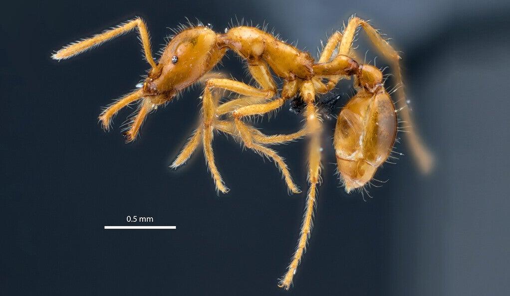 Strumigenys ayersthey ant