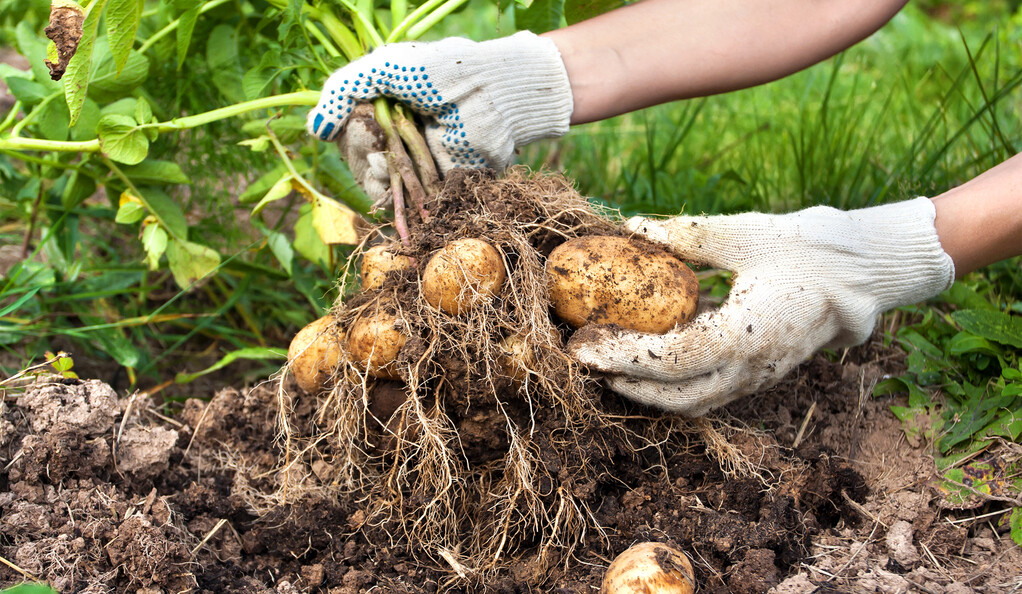 two hands holding potatoes pulled from the ground.