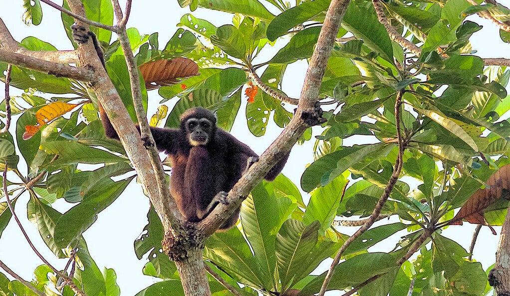 A lar gibbon sitting in a tree.