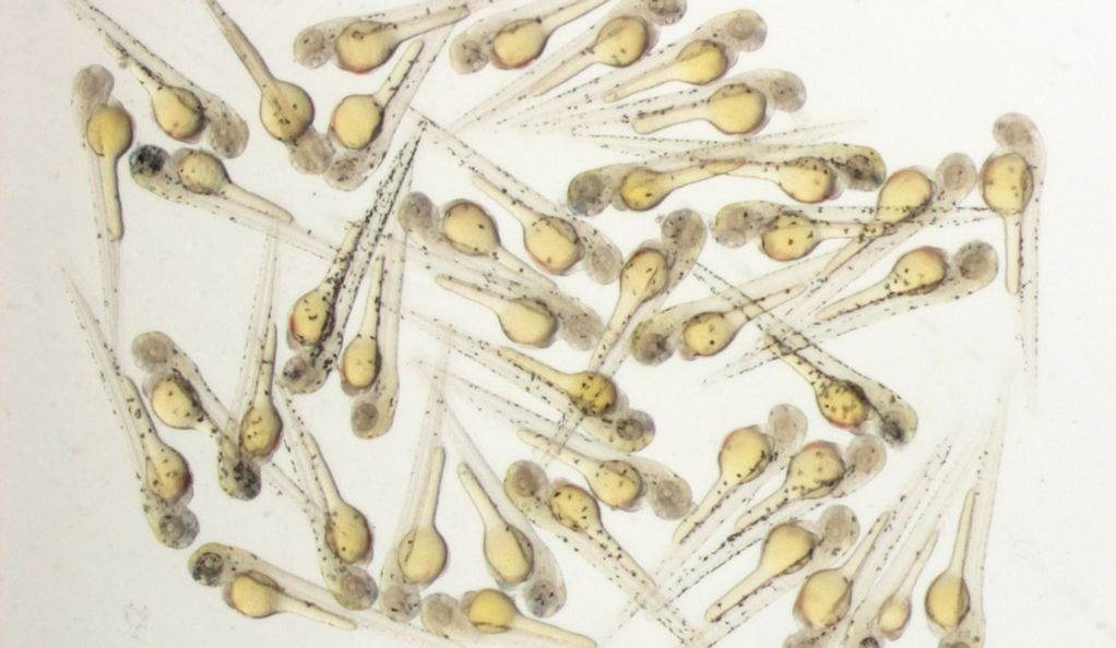 Microscopic photo of zebrafish embryos