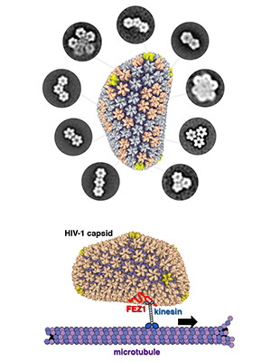 The protective envelope of HIV virus