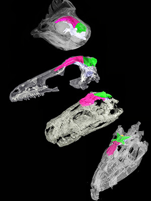 CT scan images of the skull roof of a chicken and birdlike dinosaurs.