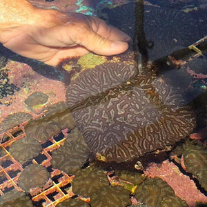 Brain coral grown with microfragmenting by Coral Vita