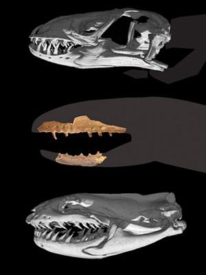 The skulls of a Gila monster (top), Coniophis precedens (middle), and the modern pipe snake.