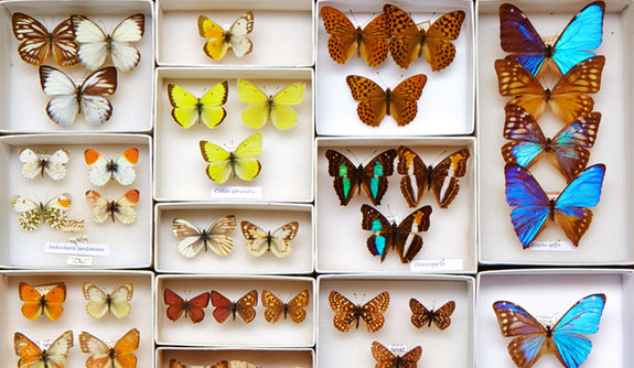 The Peabody Museum Is A National Leader Among Natural History Institutions  In Digitizing Specimen Collections. This Case Features Butterflies From The  ...