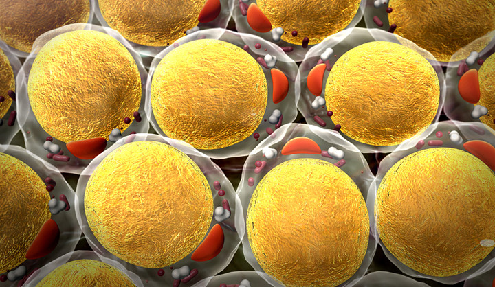 An illustration of fat cells as seen under a microscope.