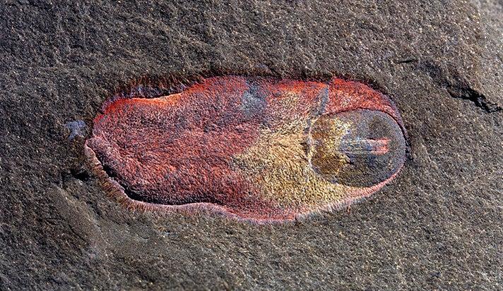 Calvapilosa fossil