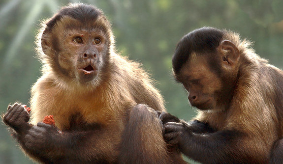 Monkeys reaction to those who have more spite yalenews monkeys like humans will take the time and effort to punish others who get more than their fair share according to a study conducted at yale voltagebd Images